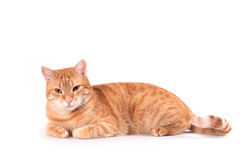 Courious cat Royalty Free Stock Photo