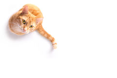 Courious cat Stock Photography