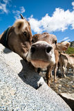 Courious cow - wide angle lens. A courious cow on a meadow shoot with wide angle lens royalty free stock photography