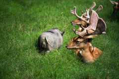 Courious deer. A group of a deer observing a pig royalty free stock photos
