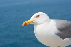 The courious gull. A seagull, focus on the eye stock image