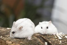 Courious hamster couple. Two hamster haveing fun, white domestic animal stock photography