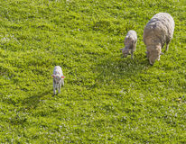 Courious lamb. A curious lamb move away from mom and brother Stock Image