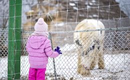 Courious little child looking at an captive animal at zoo park. In winter stock photos