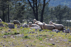 Courious Sheep in a mountain. Courious Sheep on the mountain (Serra D'Aire e Candeeiros - Leiria - Portugal) surrounded by limestone stones and marble eating stock images