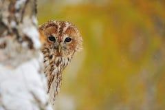 Courious tawny owl royalty free stock photo