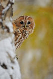 Courious tawny owl. Hidding behind tree trunk Royalty Free Stock Images