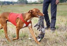 courir Amorce attrapée par chien de pharaon Peau de lapin photographie stock