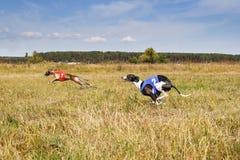 courir Voie courante de whippet de chiens Pore de fines herbes Photographie stock libre de droits