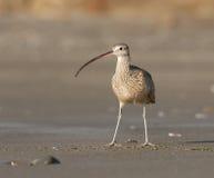 Courlis cendré Long-billed sur la plage Images libres de droits