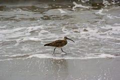 Courlis cendré sur la plage Photographie stock