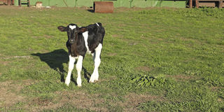Couro pequeno da vitela preto e branco. Imagens de Stock Royalty Free