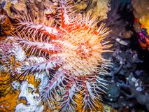 Couronne d'épine, étoile de mer Espèce marine Image libre de droits