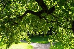 couronne d'Apple-arbre Photo stock
