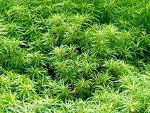 Couronne d'arbre avec les feuilles vertes Images libres de droits