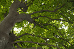 Couronne d'arbre d'Acer Photographie stock