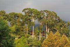 Couronne d'arbre d'eucaliptus Photo libre de droits