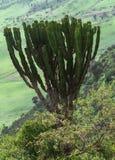 Couronne de cactus Photos libres de droits