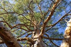 Couronne de haut pin s'élevant dans la steppe photos libres de droits