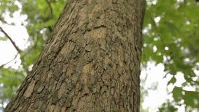 Couronne de la vue inférieure d'arbre, grand arbre avec les branches bifurquées, vieux grand arbre Scène panoramique verticale de clips vidéos