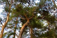 Couronne de pins dans le ciel Photo libre de droits