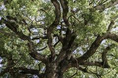 Couronne puissante d'arbre Image libre de droits