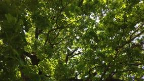 Couronne verte d'arbre en parc, jour banque de vidéos