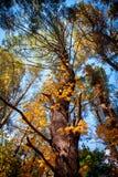 Couronnes d'arbres grands dans le ciel Images libres de droits