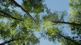 Couronnes de variété de la forêt d'arbres au printemps contre le ciel bleu avec le soleil banque de vidéos
