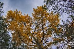 couronnes des arbres coniféres contre un ciel nuageux d'automne photo libre de droits