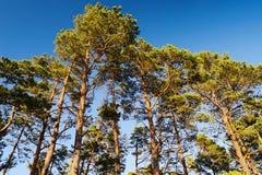 Couronnes des arbres de sylvestris de pinus de pin écossais ou écossais contre le ciel bleu Groupe de pins grands s'élevant en bo Images stock