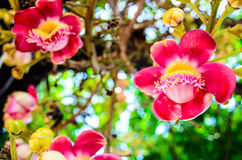 Couroupita bloom. The flowers of the Cannonball tree Royalty Free Stock Photos