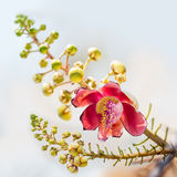 Couroupita flower Royalty Free Stock Images