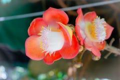 Couroupita guianensi eller cannonballträd eller guianensis royaltyfri fotografi