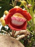 炮弹树花couroupita guianensis,一朵茂盛的花的特写镜头,与芽 免版税图库摄影