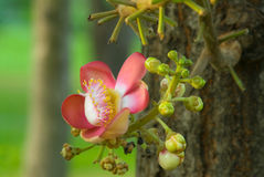 Couroupita guianensis Stock Photo