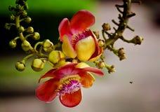 Couroupita guianensis Stockfotografie
