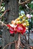 Couroupita-guianensis alt Blume des Kanonenkugelbaums stockfotos