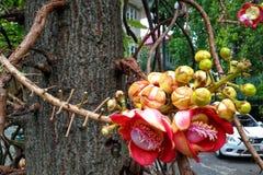 Couroupita-guianensis alt Blume des Kanonenkugelbaums stockbilder