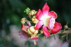 Couroupita guianensis Aubl的本质 免版税库存图片
