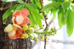Couroupita guianensis Aubl Stock Images