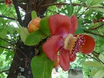 Couroupita guianensis - the cannonball plant. Flower of Couroupita guianensis - the cannonball plant stock photo