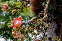 Couroupita guianensis. Cannonball tree flowers. Couroupita guianensis - Cannonball tree flowers Stock Images