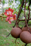 Couroupita guianensis. Cannonball tree flowers. Couroupita guianensis - Cannonball tree flowers Royalty Free Stock Photo