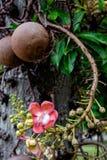 Couroupita guianensis Cannonballträdblommor Arkivbild