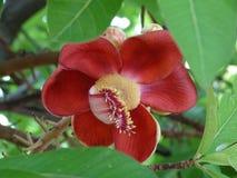 Couroupita guianensis - cannonballväxten Arkivfoto