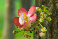 Couroupita guianensis flower Stock Photo