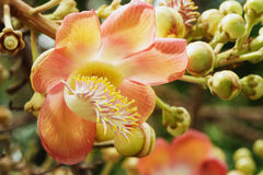 Couroupita guianensis flower Royalty Free Stock Photos