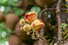 Couroupita guianensis flower Stock Photo