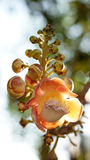 Couroupita-guianensis, Kanonenkugelbaum-Blütenblume Stockbilder